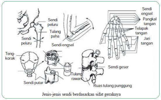 Jenis-jenis sendi berdasarkan sifat geraknya