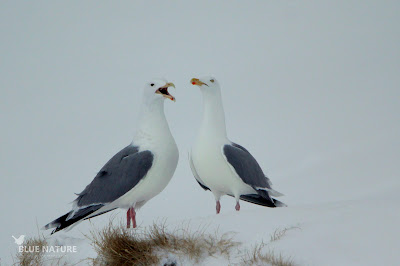 Gaviota argéntea europea - european herring gull - Larus argentatus. Pareja en los alrededores del observatorio, mostrando comportamientos evidentes de cortejo.