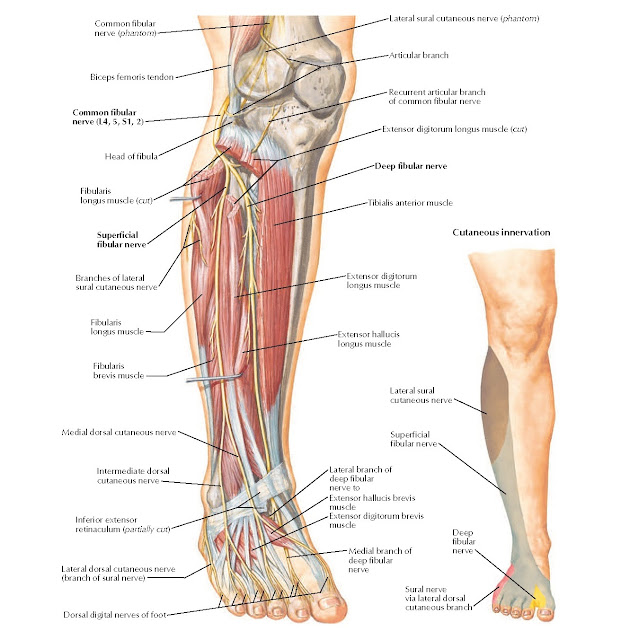 Common Fibular Nerve Anatomy