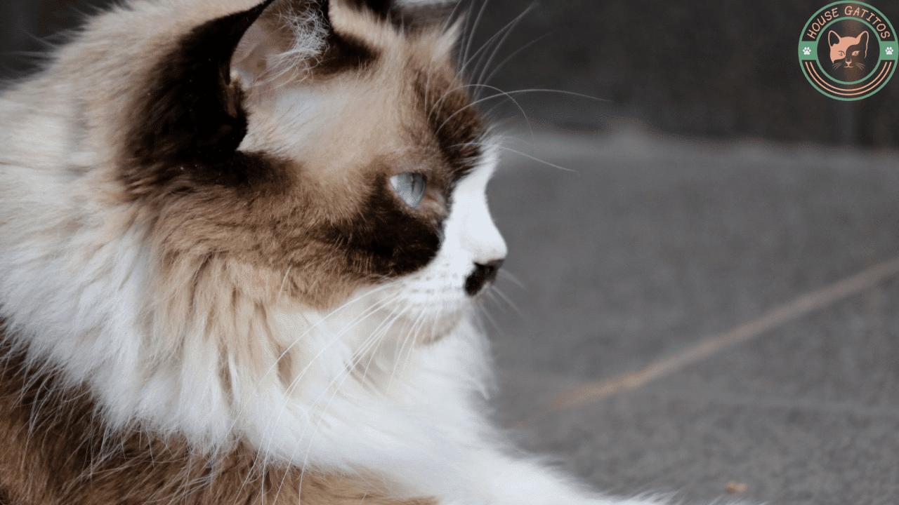 Foto de gato Himalayo