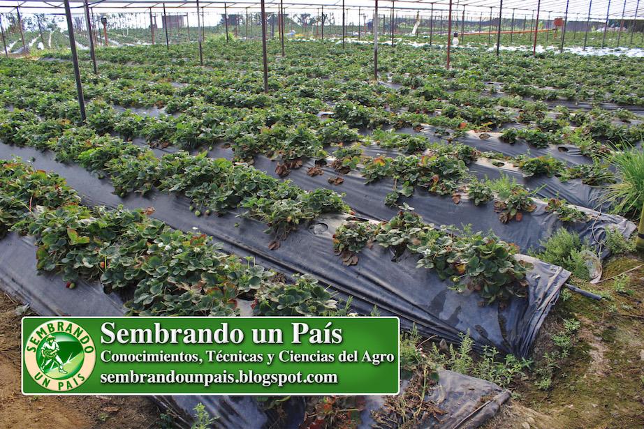 cultivo de fresa con manto plástico