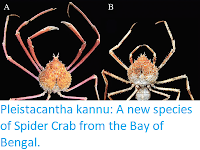 https://sciencythoughts.blogspot.com/2017/12/pleistacantha-kannu-new-species-of.html