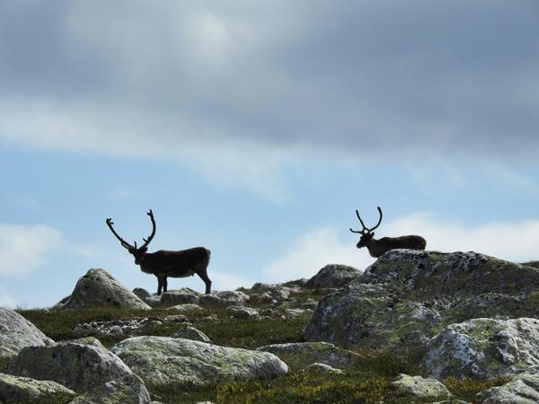 norefjell reinsdyr