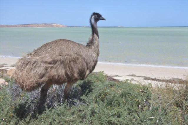 The emu – Australia's largest fowl