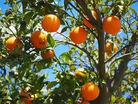 Oranges to improve eyesight
