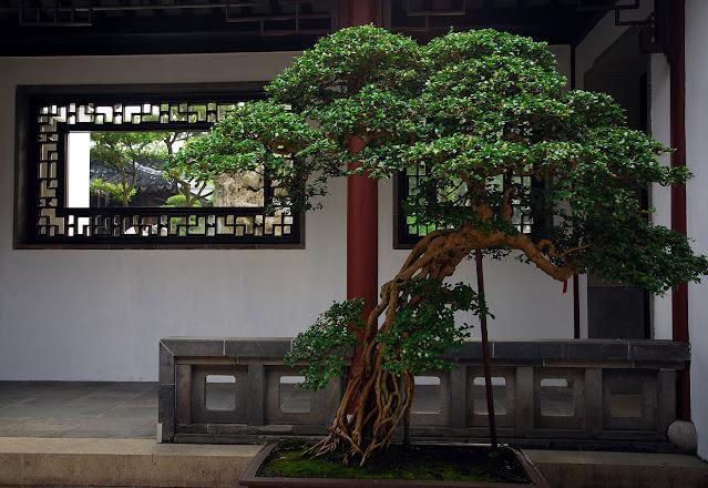 Bonsai Tree From China to Singapore