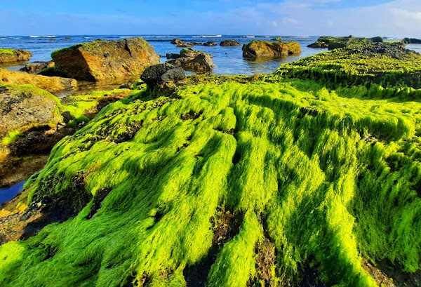 Tháng Giêng, tiết trời nắng ấm, rêu xanh bao phủ khắp nơi trên đảo Lý Sơn.