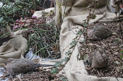 """This picture was taken on a cold winter day in a  NYC rooftop garden. During the winter seasons are containers been wrapped in bubble wrap topped with a layer of burlap for protection from cold temperatures. The focus of the image is three Mourning doves. Two are on the right, one is on the left. They are sitting atop the mulch that has been added to provide extra protection for the flora during winter. A fair amount of an array of green foliage is pushing their way through the mulch. This garden is the setting for my three volume book series, """"Words In Our Beak.""""  Mourning doves are featured in volume one. Info re these books is included in another post within this blog @ https://www.thelastleafgardener.com/2018/10/one-sheet-book-series-info.html"""