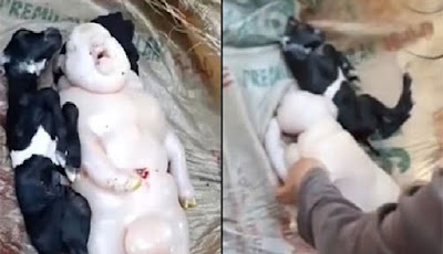Anak kambing yang tampak seperti setengah babi setengah manusia