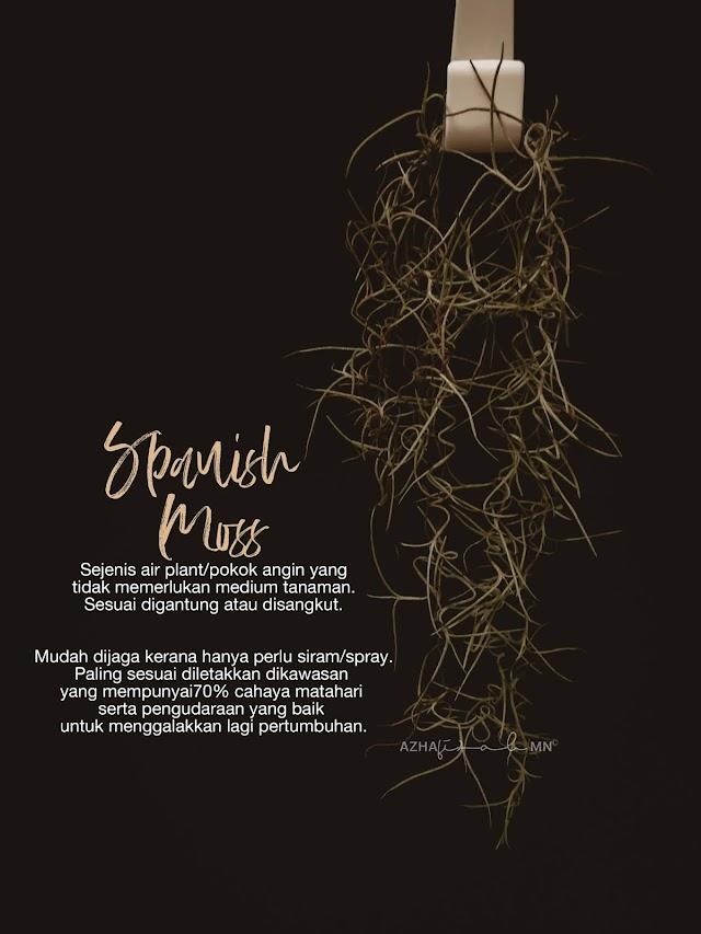 Pokok Angin Spanish Moss Tumbuhan Hiasan Yang Unik Dan Mudah Dijaga