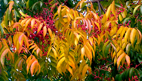 bright red berry clusters on tree with yellow and green leaves