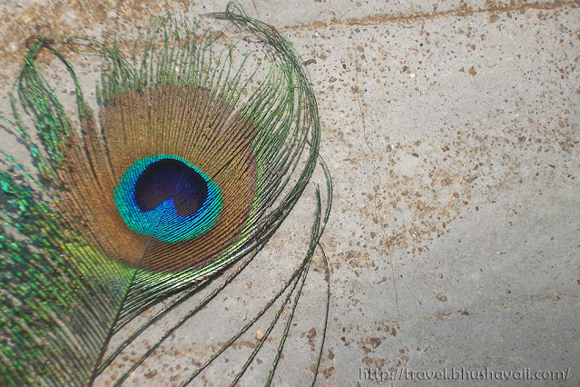 HD Wallpaper of Peacock feather images