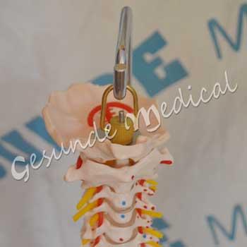jual kerangka anatomi tulang belakang