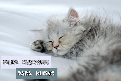 Obat Calicivirus Kucing