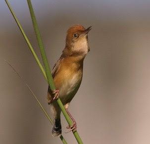Mengenal Lebih Dekat Jenis Burung Branjangan Sawah/Cici Padi