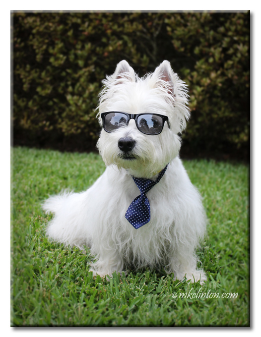 Pierre Westie in his tie and sunglasses