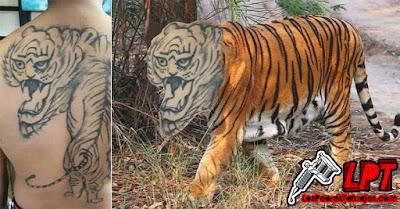 Meme tatuaje FAIL de tigre en la espalda