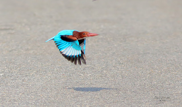 Low flying White-throated Kingfisher