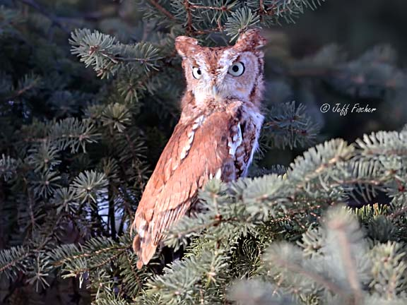 Red Eastern Screech Owl