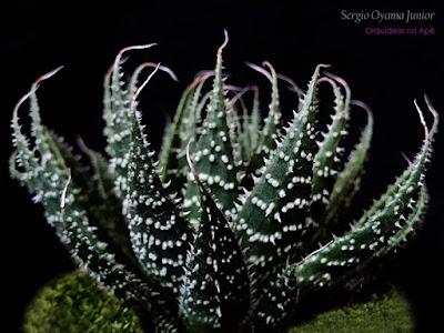 Suculenta Aloe aristata