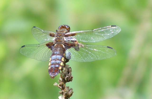 Broad-bodied Chaser Libellula depressa, Loir et Cher, France. Photo by Loire Valley Time Travel.