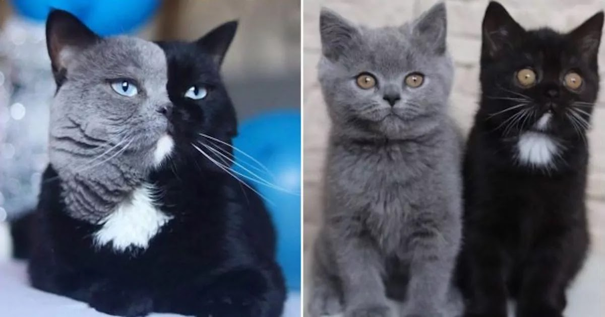 Meet Narnia: The Cat With Two-Coloured Face Who Fathered Two Kittens In Each Of His Colours!