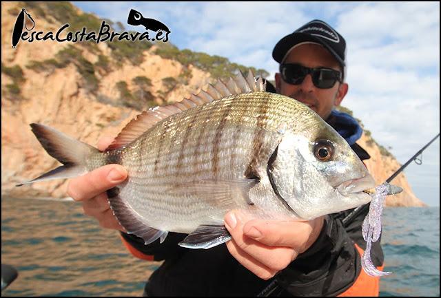 sargo bait breath virtual craw major craft crostage pesca costa brava jjpescasport 2 - SARGOS con CANGREJO de vinilo