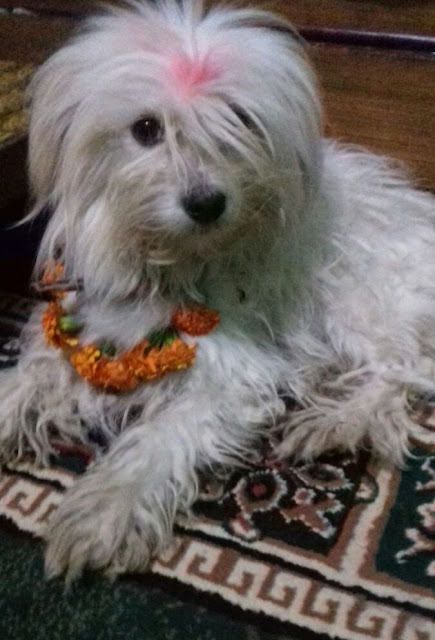kukur tihar or dog's day in Nepal