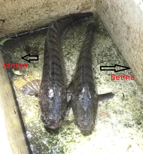 perbedaan ikan gabus jantan dan betina