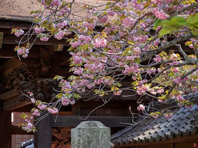 Yae-zakura (double-flowered cherry tree) flowers: Engaku-ji