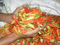 cabai kecil, cabe rawit, dewta 43, cap panah merah, jual benih cabe, toko pertanian, toko online, lmga agro