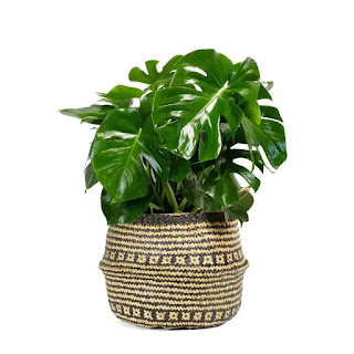 https://www.lowes.com/pd/LiveTrends-3-Gallon-Split-leaf-Philodendron-in-Seagrass-Planter-Ltl0049/1000691500
