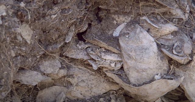 Ancient oyster shells provide historical insights