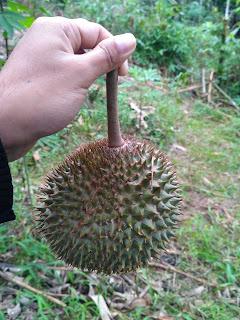 Panen Durian Runtuh