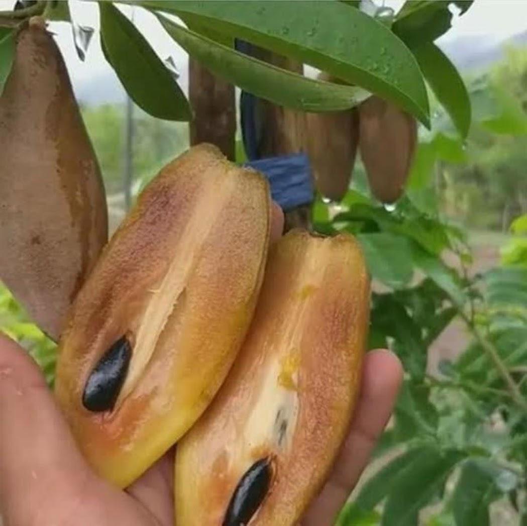 Bibit tanaman buah sawo mentimun okulasi cepat berbuah Bengkulu
