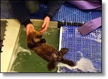 Picture of woman holding sea otter