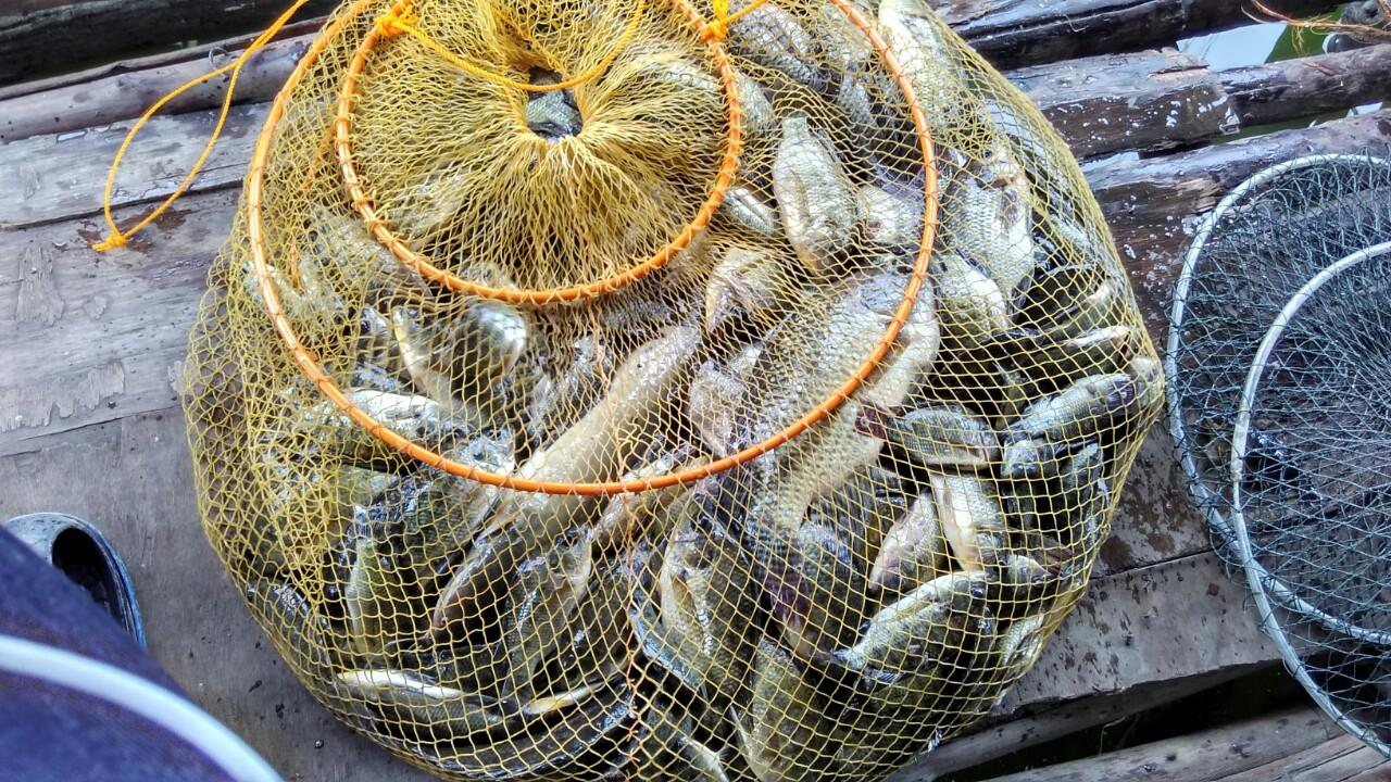 Cara Mancing Ikan Nila Besar Yang Ampuh | Tips Memancing Ikan Paling Jitu
