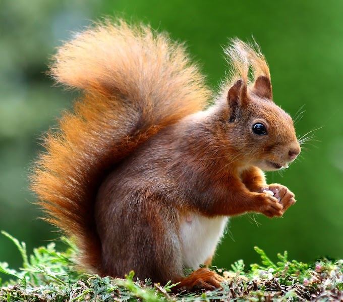 brown-squirrel-Animal