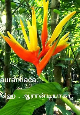 Heliconia aurantiaca.