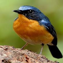 Download MP3 Suara Burung Tledekan Laut, Bakau, Bambu Dan Gunung