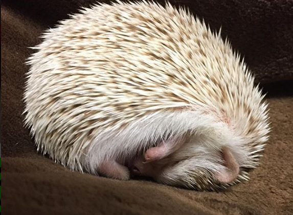 nhím kiểng ngủ nhiều