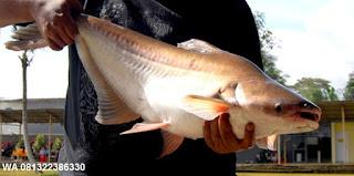 Essen Untuk Ikan Patin Rekomendasi Para Master