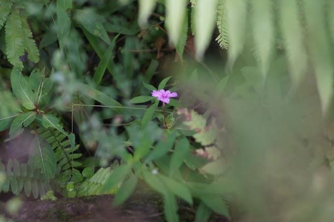Bunga liar warna ungu di Baturaden