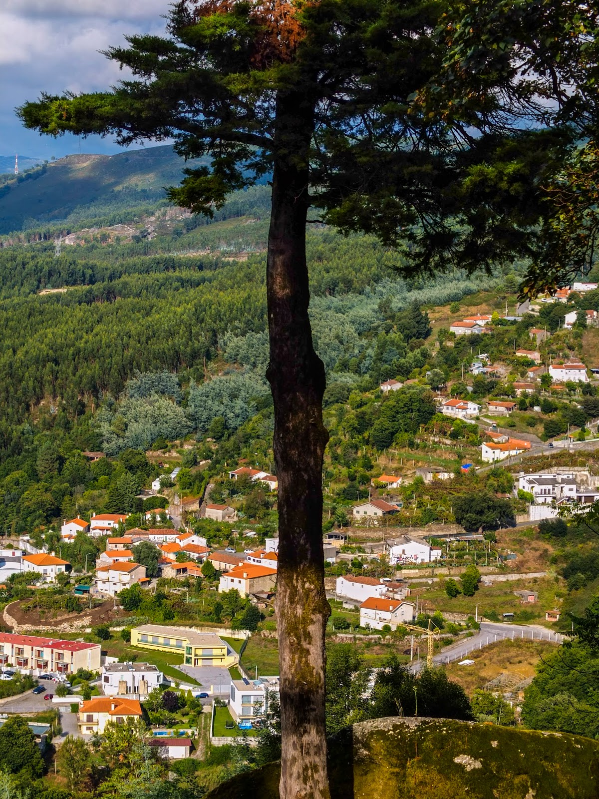 A conifer growing on a hillside of the Espinho Mountain in the north-west of Portugal.