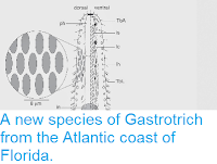 http://sciencythoughts.blogspot.co.uk/2014/05/a-new-species-of-gastrotrich-from.html