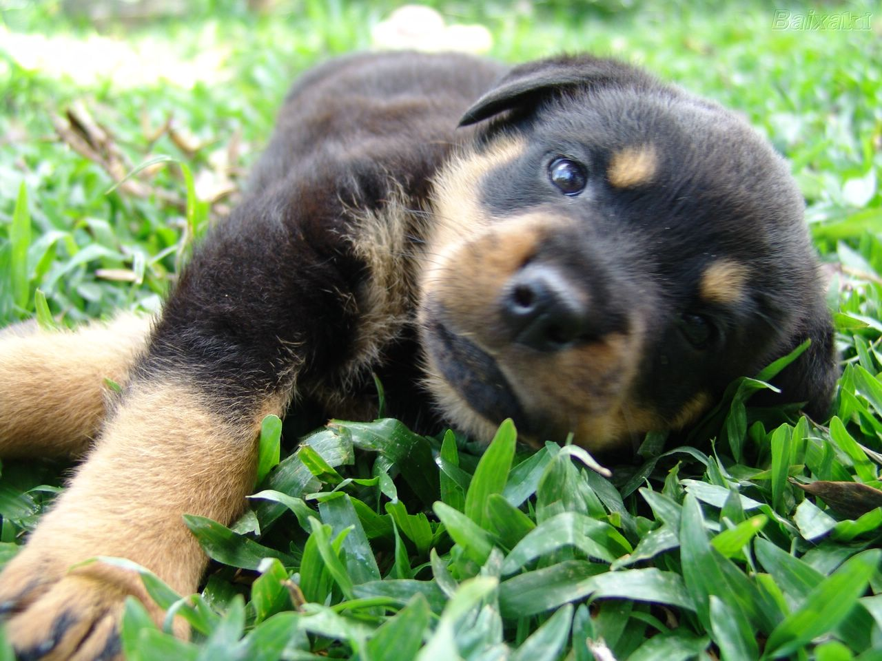 Rottweiler Wallpapers | Animal Literature