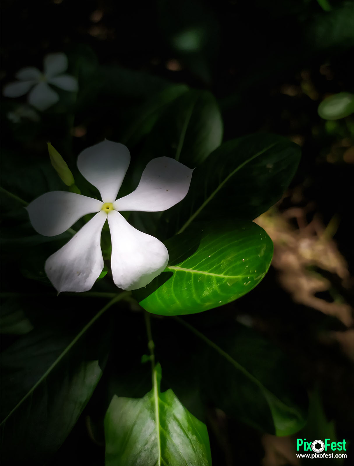 flower,flowers,whiteflower,lightandshadow,mobileclick,mobileshoot,mobilecapture,localflower,beautifulflower,pixofest