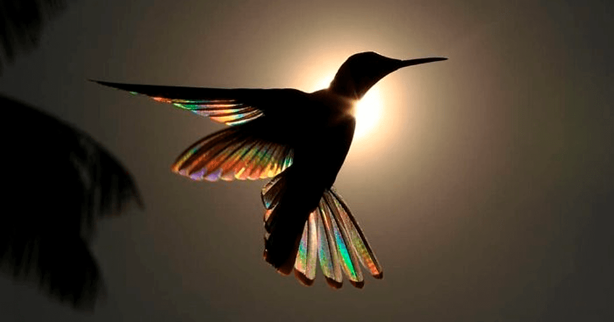 9 Stunning Images Of Hummingbirds' Wings Shining Like Rainbows