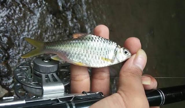 Ciri Ciri Ikan Wader