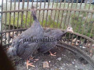 Ayam Mutiara Usia 3 Bulan